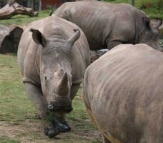 Vince Rhino